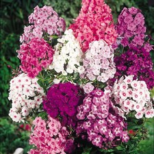 Phlox Dwarf Beauty Drummondii Mixed  (op seeds)