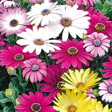OSTEOSPERMUM mixed 20 seeds