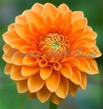 Figaro® Orange Shade Dahlia