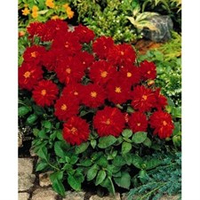 Figaro® Red Shades Dahlia