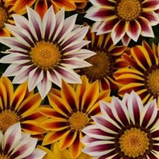 New Day® Tiger Mixture Gazania