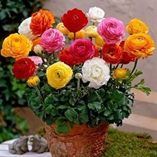 Ranunculus 10 Bulbs  Mix