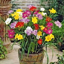 Freesias Mixed -10 Bulbs