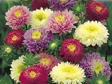 Aster, China – Milady Mixed