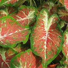 Red Caladium Creamsicle