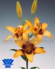 Apricot Pixels  ® Asiatic Selection  5 bulbs deal