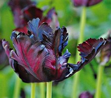 "tulips Black Parrot   ""5 bulbs deal"""