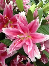 BLISS   Oriental Lily 5 BULBS DEAL