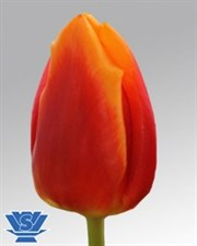 "Bombita ® TULIPS ""Triumph"" 10 BULBS DEAL"