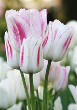 "Tulip Candy Club  "" 5 BULBS   DEAL """