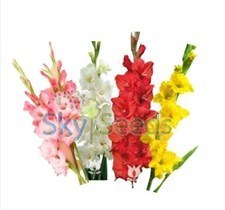 Gladiolus 4 colors Mixed 50 bulbs deal