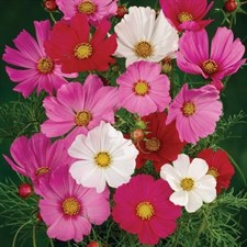 Garden Cosmos Mixed Annual.