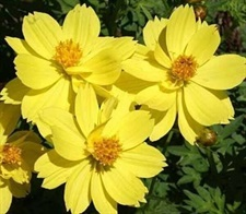 Cosmos Lemon Carpet Seeds 40 seeds