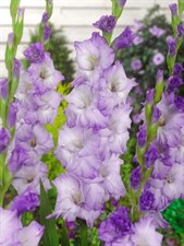 Gladiolus  Costa  10 BULBS DEAL