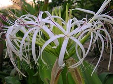 Crinum asiaticum Lilly    5 bulbs deal