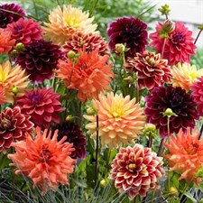 Dahlia Seed   Giant Hybrid Mix 1000   SEEDS IN PACKET
