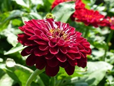 Zinnia Super Yoga  Dark Red
