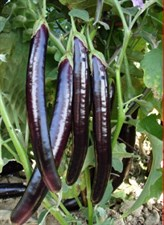 Eggplant  Rare blackish  Purple Long Hybrid F1