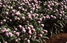 GOMPHRENA GLOBOSA BUDDY DWARF DOLLY  LILAC - ROSE