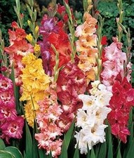 Gladiolus 'Double 25 BULBS MIXED