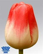 "Dreamland Tulips "" Single late"" 10 bulbs Deal"