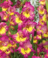 Far West Gladiolus   10 bulbs deal