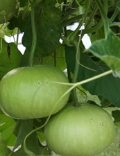 Round  Gourd  Open Pollinated Seeds 50 grams