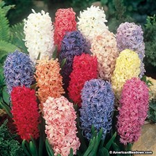 Hyacinth BULBS  10 BULBS MIX