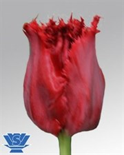 "Indiana Tulips ""Fringed""  10 Bulbs deal"