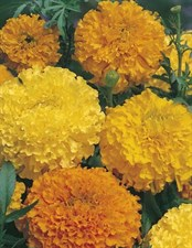 Marigold (African)  Yellow & Orange Mixed
