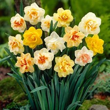 Nargis or Narcissus Flower Bulb (Pack of 10)