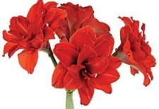 Amaryllis Bulbs (Double) - 'Red Peacock'  5 bulbs deal