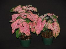 Caladium 'Pink Splash'