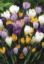 Crocus mixed colour collection 10 bulbs