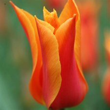 Tulipa 'Ballerina'  5 bulbs deal