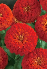 ZINNIA Sky Dream DOUBLE F1  RED   20 SEEDS