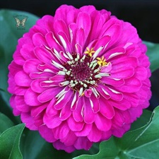 ZINNIA Sky Dream DOUBLE F1  ROSE APPROXIMATELY  20 SEEDS