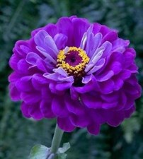 Zinnia Super Yoga  Purple