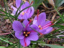 Saffron Crocus 10 Bulbs Deal