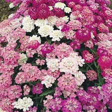 CANDYTUFT  MIXED COLORS approx.100 seeds