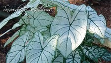 Snow Drift Caladium Bulbs
