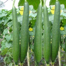 sponge Gourd   Open Pollinated Seeds