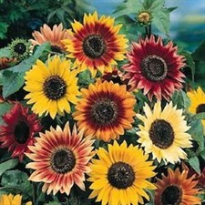 Sunflower Autumn Beauty Mix