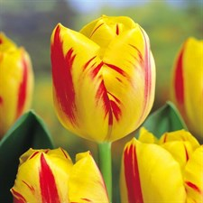 "Tulip Bulbs ""Washington"" 5 Bulbs Deal  Size:12 plus"