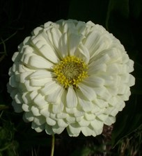 Zinnia  Super Yoga white