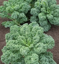 kale  Starbor   40 seeds