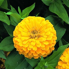 ZINNIA Sky Dream DOUBLE F1  YELLOW 20 SEEDS