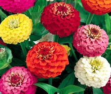 Zinnia Lilliput Mix approx 40 seeds
