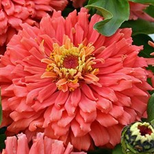 Zinnia Super Yoga  Salmon