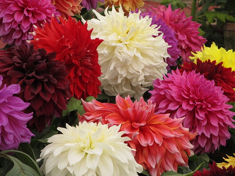 Flower Plants In Cup Dahlia Hybrida Indian Double Flower